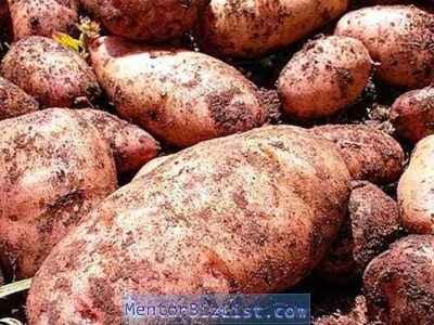 Potato variety Lapot