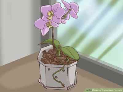 Preparing and transplanting a blooming orchid