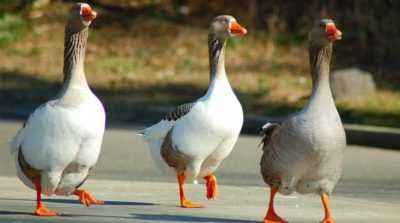 Profitability of breeding geese as a business