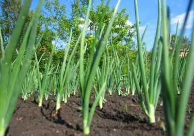 Proper planting of spring onion