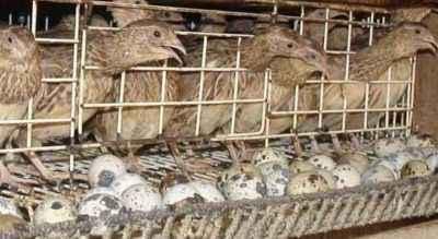Proper quail breeding at home for beginners