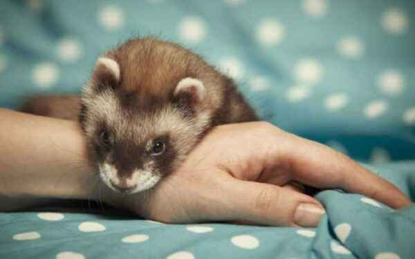 Pros and cons of keeping decorative ferrets