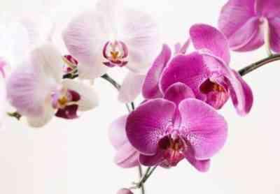 Purple Orchid Care