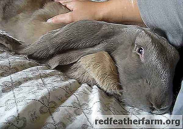 Rabbit ram and its subspecies