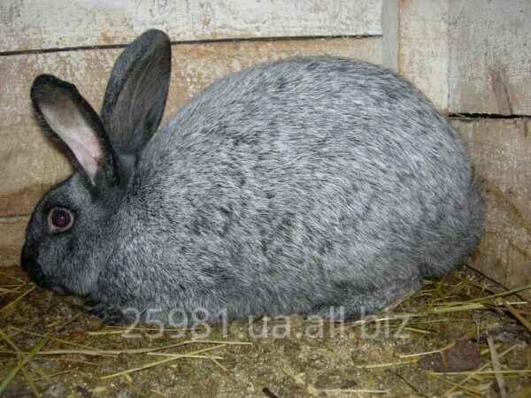 Rabbits Poltava Silver
