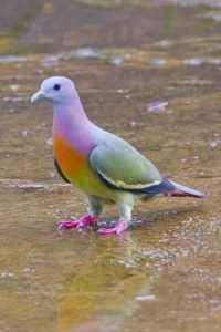 Rare bird pink dove