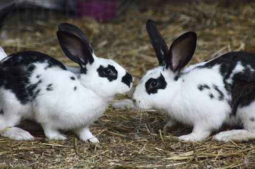 Reasons for the rabbit to refuse mating