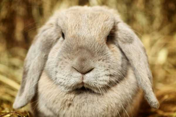 Reasons why a female rabbit eats her rabbits