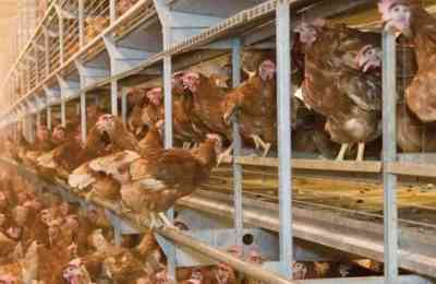 Recommendations for keeping laying hens in cages