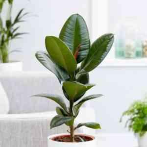 Rubbery Ficus Robusta