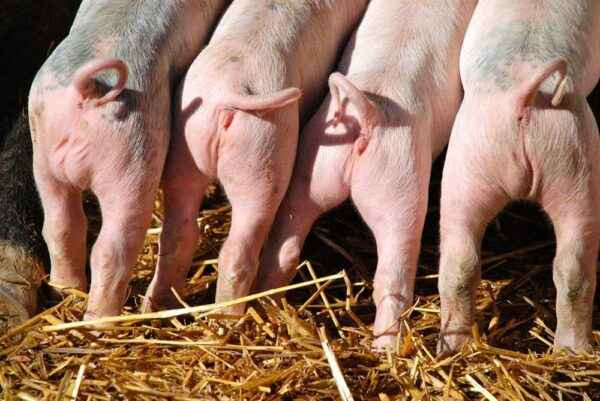 Rules for castration of piglets