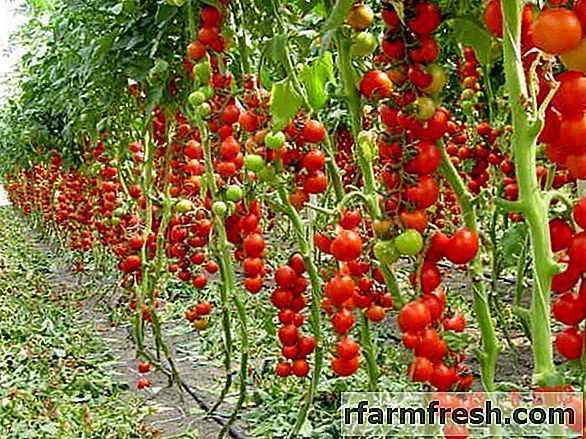 Rules for feeding tomato urea