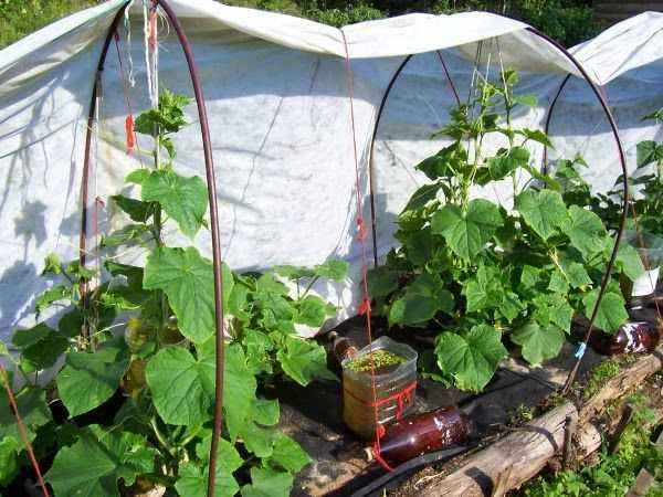 Rules for growing cucumbers under spanbond