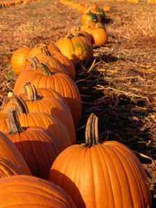 Rules for growing pumpkins in the open ground