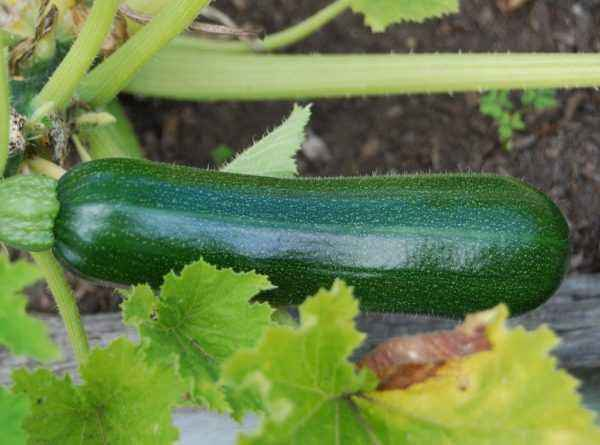 Rules for growing zucchini
