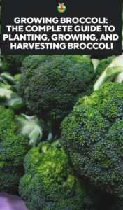 Rules for planting and caring for broccoli