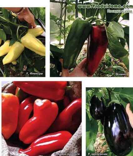 Rules for planting pepper in Siberia