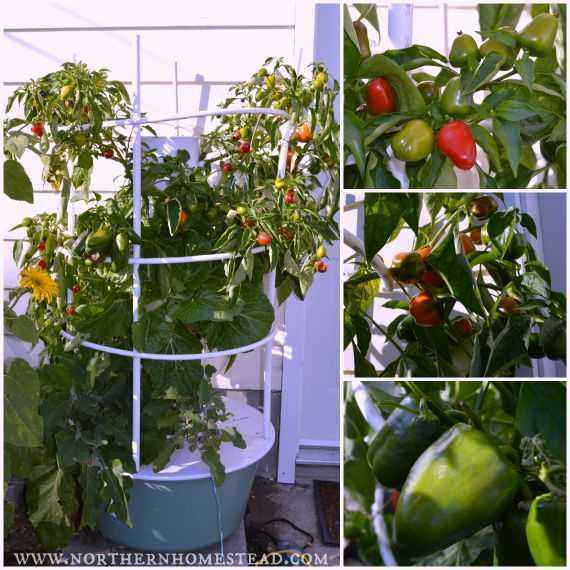 Rules for planting peppers and tomatoes in one greenhouse