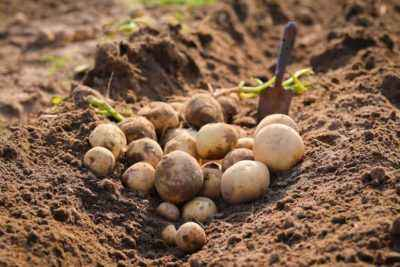 Rules for planting potatoes in the beds