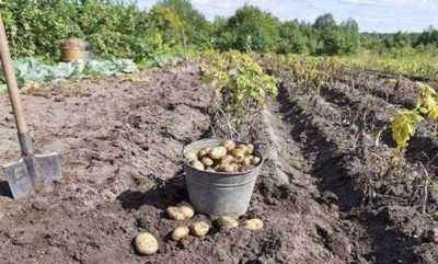 Rules for planting potatoes under a shovel
