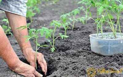 Rules for planting tomato seedlings in open ground