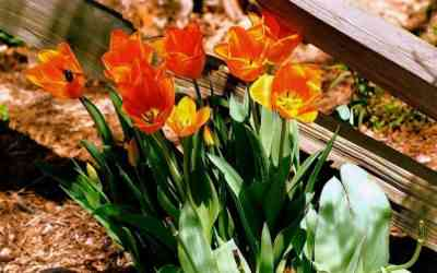 Rules for planting tulips in the fall in the suburbs