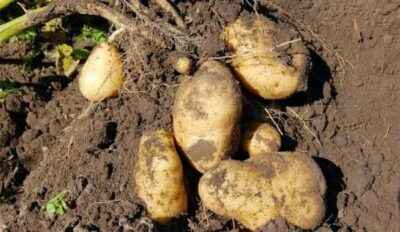 Rules for preparing soil for potatoes
