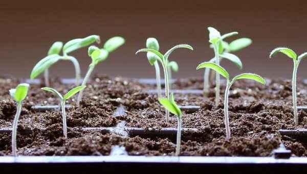 Rules for preparing soil for seedlings of pepper