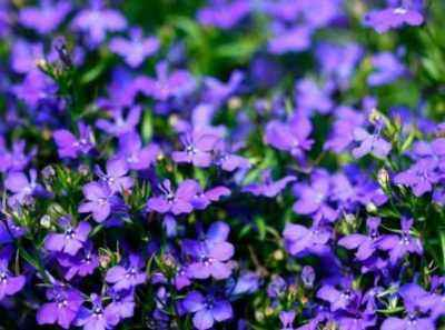 Rules for sowing lobelia for seedlings in 2020