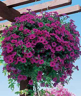 Rules for sowing petunias for seedlings in 2020