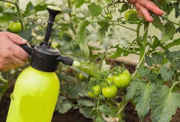 Rules for spraying cucumbers with trichopolis