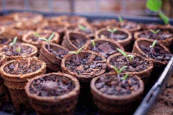 Rules for transplanting tomato seedlings