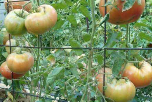 Rules for tying tomatoes in greenhouses