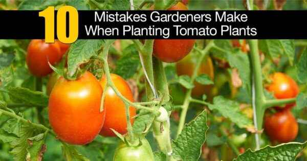 Rules for watering tomatoes
