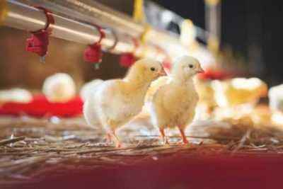 Salmonellosis in chickens and cocks