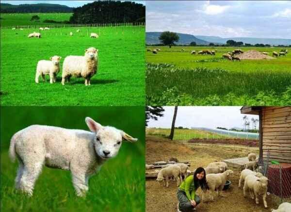 Sheep farming as a business