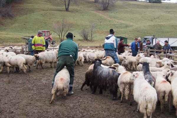Sheep Sheepfold Construction