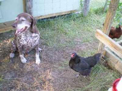 Shorthair chickens