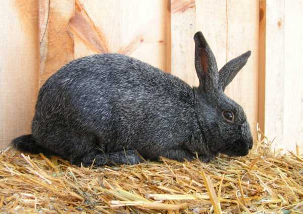 Silver rabbits breed