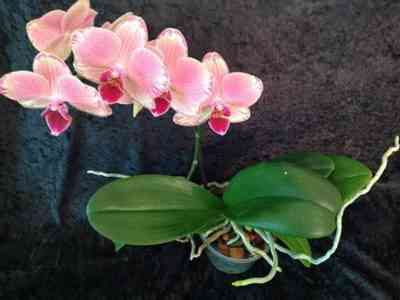 Soil selection for Phalaenopsis orchid