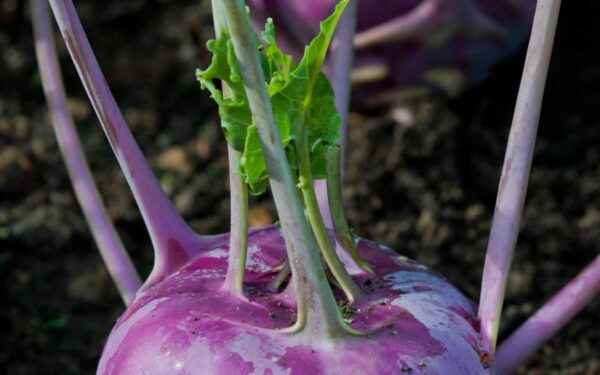 Sowing kohlrabi cabbage for seedlings
