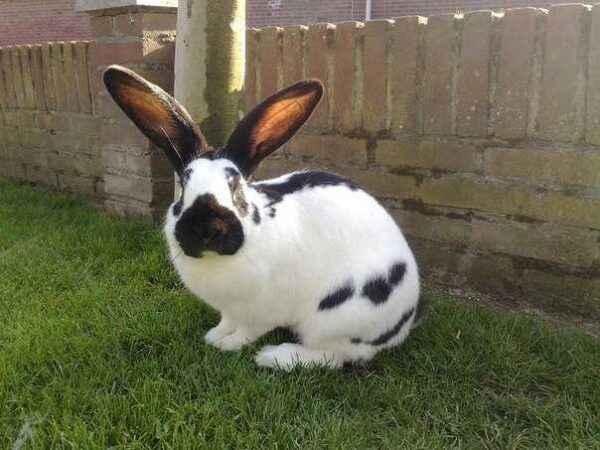 Strokach rabbit characteristic