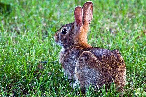 Symptoms of listeriosis in rabbits and treatment methods