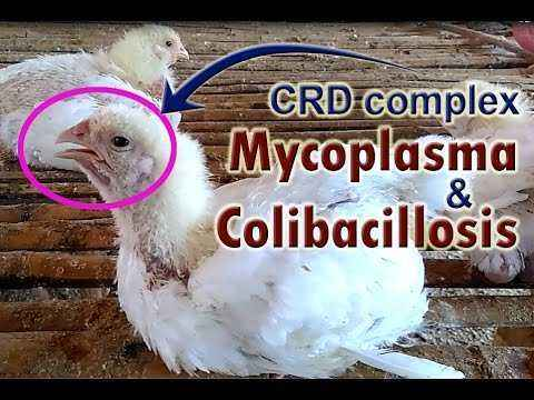 Symptoms of mycoplasmosis in chickens and treatment