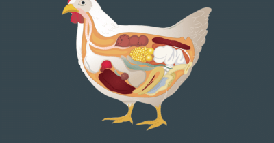 Symptoms of pasteurellosis in chickens and treatment methods