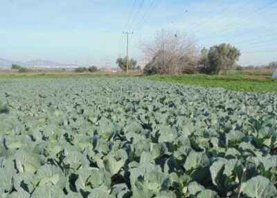 Technology for growing cabbage