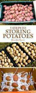Temperature conditions for storing potatoes in winter
