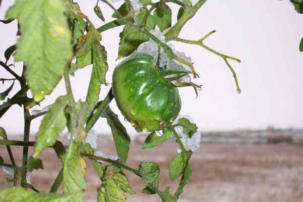 Temperature for planting tomatoes