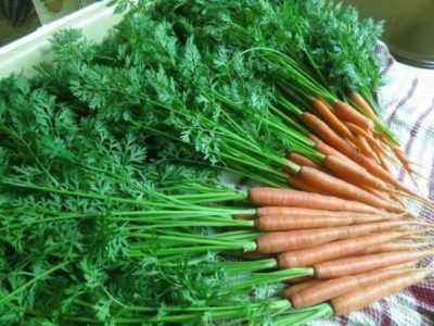The benefits and harms of carrot tops