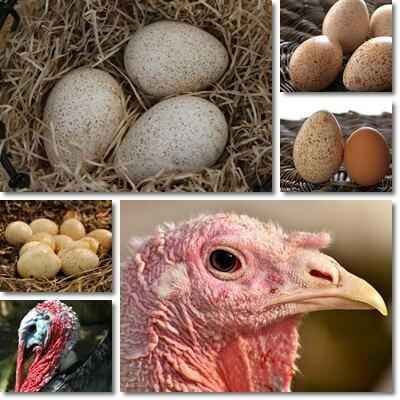The benefits and harms of turkey eggs